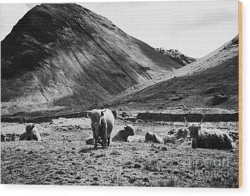 Herd Of Red Highland Cattle Glencoe Highlands Scotland Uk Wood Print by Joe Fox