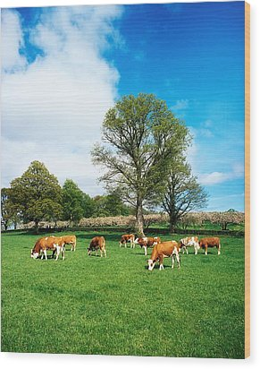 Hereford Bullocks Wood Print by The Irish Image Collection