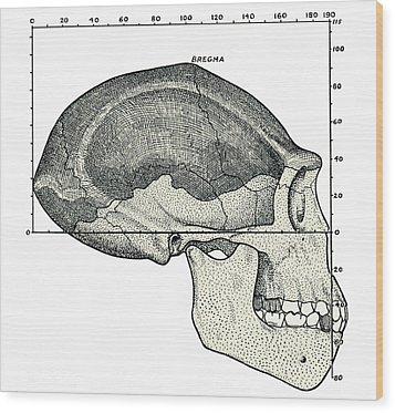 Homo Erectus Skull Wood Print by Sheila Terry