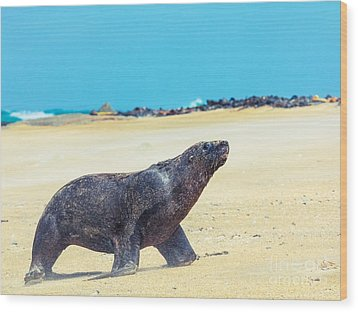Sea Lion Wood Print by MotHaiBaPhoto Prints