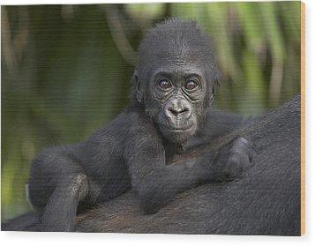 Western Lowland Gorilla Gorilla Gorilla Wood Print by San Diego Zoo