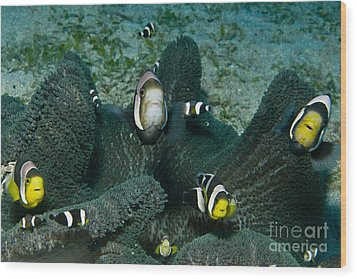 Whole Family Of Clownfish In Dark Grey Wood Print by Mathieu Meur
