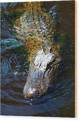Alligator In Mississippi River Wood Print by Paul Ge