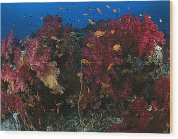 Anthias Fish Swim Near A Reef Wall Wood Print by Tim Laman