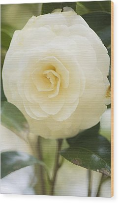 Camellia Japonica Wood Print by Maria Mosolova