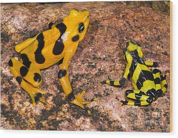 Harlequin Toad Wood Print by Dante Fenolio