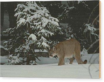A Mountain Lion, Felis Concolor Wood Print by Jim And Jamie Dutcher