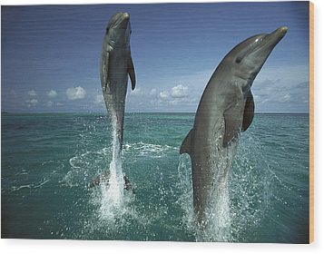 Bottlenose Dolphin Tursiops Truncatus Wood Print by Konrad Wothe