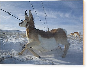 A Barbed Wire Fence Is An Obstacle Wood Print by Joel Sartore