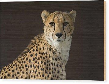 A Cheetah Acinonyx Jubatus Urinates Wood Print by Joel Sartore