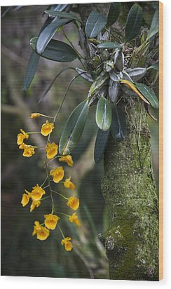 A Close View Of A Beautiful Dendrobium Wood Print by Taylor S. Kennedy