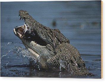 A Crocodile Eats A Giant Perch Fish Wood Print by Belinda Wright