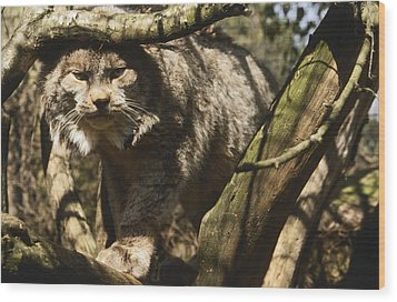 A Female Northern Lynx With Her Thick Wood Print by Jason Edwards