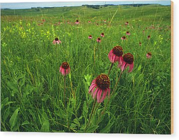 A Field Of Purple Coneflowers Wood Print by Annie Griffiths