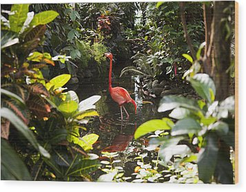 A Flamingo Wades In Shallow Water Wood Print by Taylor S. Kennedy