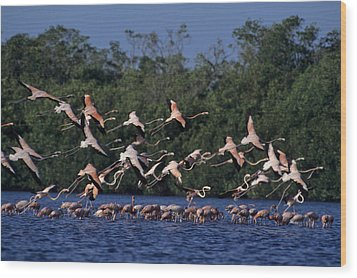 A Flock Of Flamingos Phoenicopterus Wood Print by Kenneth Garrett