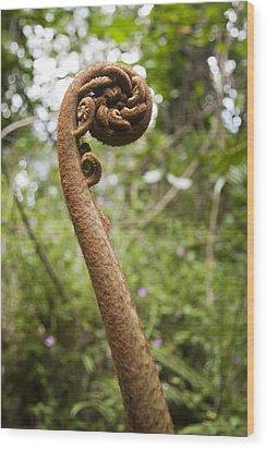 A Hawaiian Tree Fern Fiddlehead Reaches Wood Print by Taylor S. Kennedy