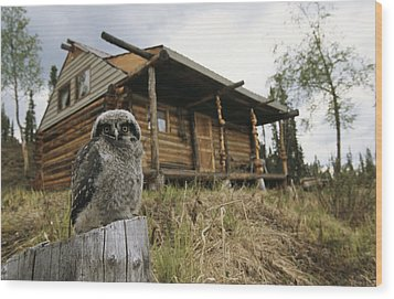 A Hawk Owl Sits On A Stump Near A Log Wood Print by Michael S. Quinton