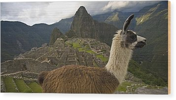 A Llama And Reconstructed Stone Wood Print by Michael Melford