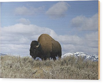 A Magnificent American Bison Bull Bison Wood Print by Dr. Maurice G. Hornocker