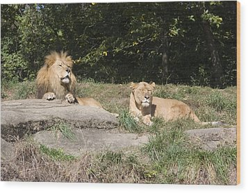 A Pair Of Lions In The Pittsburgh Zoo Wood Print by Stacy Gold