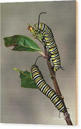 A Pair Of Monarch Caterpillars Wood Print by Sabrina L Ryan