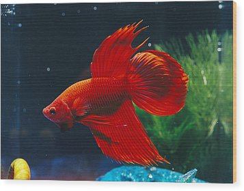A Red Siamese Fighting Fish In An Wood Print by Jason Edwards