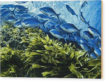A School Of Blue Maomao Swim Wood Print by Brian J. Skerry