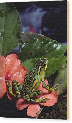 A Tiny Adult Painted Toad Atelopus Wood Print by George Grall