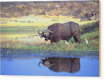 African Cape Buffalo, Photographed At Wood Print by John Pitcher