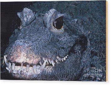 African Dwarf Crocodile Wood Print by Dante Fenolio