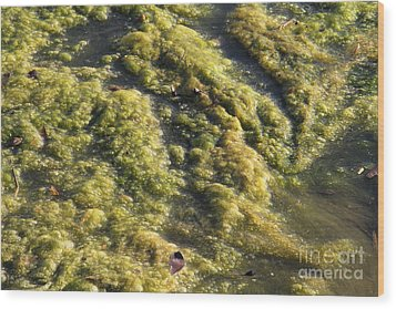 Algae Bloom In A Pond Wood Print by Photo Researchers, Inc.