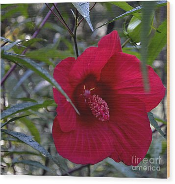 Almost Opened Hibiscus Wood Print by Eva Thomas