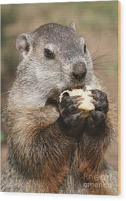 Animal - Woodchuck - Eating Wood Print by Paul Ward