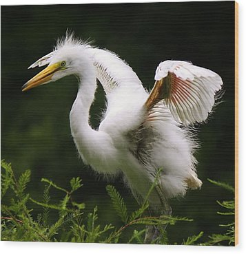 Baby Egret Wings Wood Print by Paulette Thomas