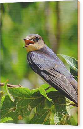 Barn Swallow In Sunlight Wood Print by Robert Frederick