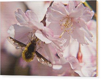 Bee Fly Feeding 6 Wood Print by Douglas Barnett