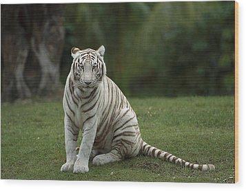 Bengal Tiger Panthera Tigris Tigris Wood Print by Konrad Wothe