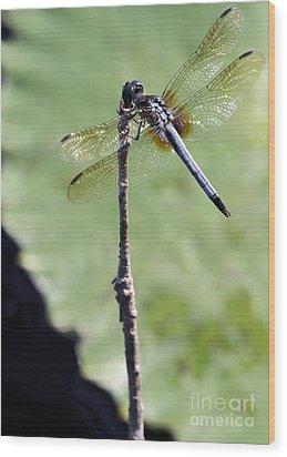 Blue Dasher Dragonfly Dancer Wood Print by Sabrina L Ryan
