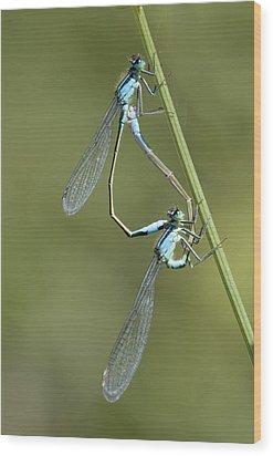 Blue-tailed Damselfly Wood Print by Adrian Bicker