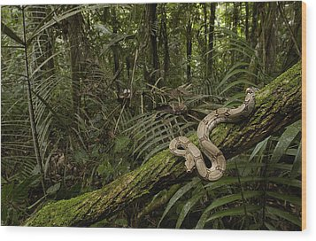 Boa Constrictor Boa Constrictor Coiled Wood Print by Pete Oxford