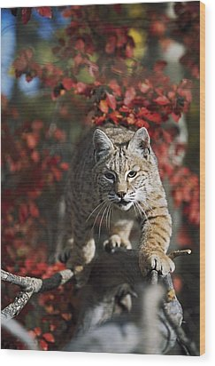 Bobcat Felis Rufus Walks Along Branch Wood Print by David Ponton