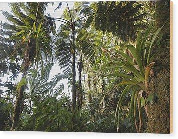 Bromeliad And Tree Ferns  Wood Print by Cyril Ruoso