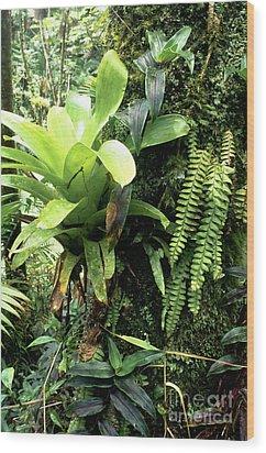 Bromeliad On Tree Trunk El Yunque National Forest Wood Print by Thomas R Fletcher