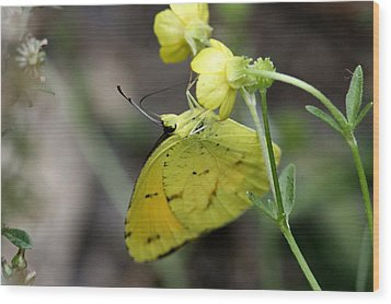 Butterfly - Yellow Sulphur On Yellow Wood Print by Travis Truelove