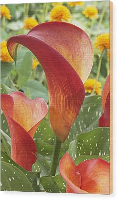 Calla Lily Zantedeschia Sp Captain Wood Print by VisionsPictures