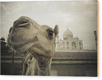 Camel In Front Of The Yamuna River And Wood Print by David DuChemin