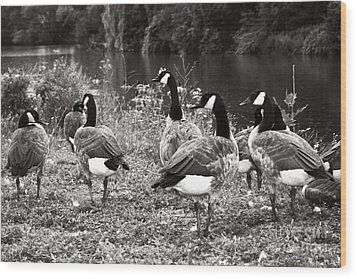 Canada Geese Wood Print by Blink Images