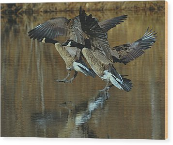 Canada Goose Trio Landing - C0843m Wood Print by Paul Lyndon Phillips