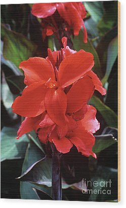 Canna Lily 'assaut' Wood Print by Adrian Thomas